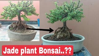 How to make Jade bonsai, Jade bonsai, Jade plant bonsai