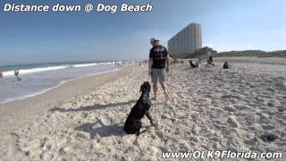 "10mo Doberman ""draven"" 2 Week Board And Train Video! Central Florida Dog Trainers."