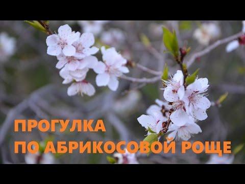 Прогулка по абрикосовой роще
