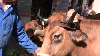 Un attelage de vaches race Aubrac 2011.m2ts