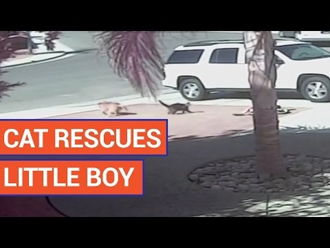 Amazing Cat Rescues Boy Video 2016 | Daily Heart Beat
