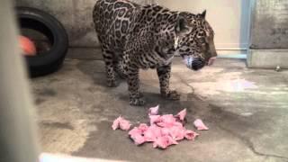 ジャガーの食事シーンです。ニワトリの頭を食べています。時折骨を噛み...
