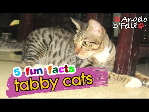 5 Fun Facts About Tabby Cats