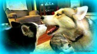 Siberian Husky Howling Party! Husky Howl Talking Husky!