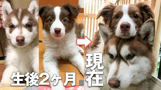 Good Siberian Husky and Border Collie Record from puppies to adult dogs