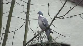 pigeon, about to take off