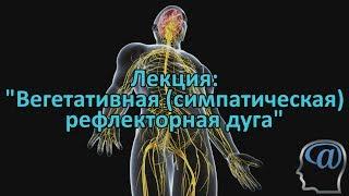 Строение вегетативной (симпатической) рефлекторной дуги. Лекция.