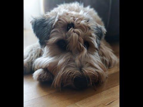 1 st birthday of soft coated wheaten terrier