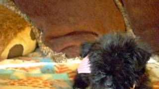 Shorkie puppies in training to be LOVE BUGS! We have the cutest puppies in the world.