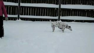 Dalmatian & Cocker Spaniel Playing In The Snow!