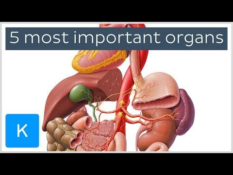 5 most important organs in the Human body - Human Anatomy |Kenhub