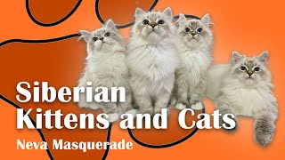 Playing with Siberian Cats and Kittens  Neva Masquerade