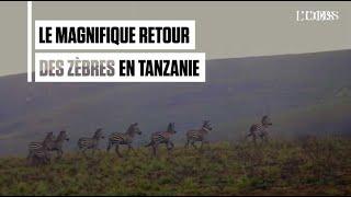 Tanzanie : la superbe réintroduction des zèbres dans le parc de Kitulo