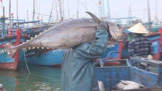 Cận cảnh CÁ NGỪ KHỦNG do ngư dân Phú Yên câu được