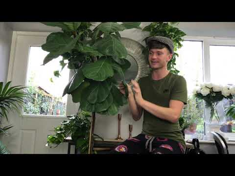 20 year old fiddle leaf fig tree!! Houseplant care!