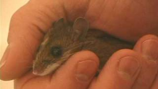 Friendly Wild Mouse