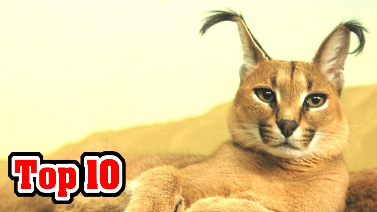 Top 10 Unusual Cat Breeds - YouTube