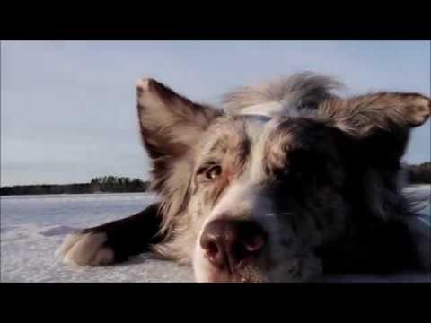 Australian Shepherd Djali 4 years