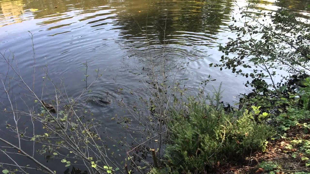 Riesige fische im schlo teich b ckeburg karpfen youtube for Fressen kois kleine fische