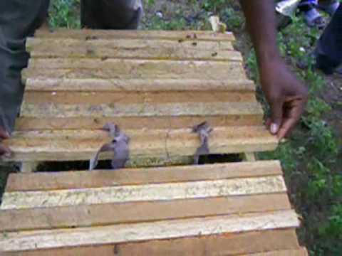 the Kenya Top Bar Hive (KTBH) in Jacquesyl, Haiti - YouTube