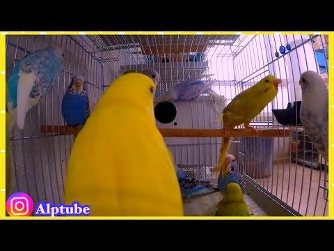 14 Tane Muhabbetkuşu Aynı Kafeste - Muhabbetkuşu Sesi - Damızlık Altı Kuşlar