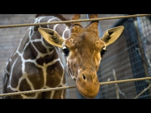 Danish Zoo defends giraffe killing