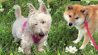 柴犬と スコティッシュテリア相性はいかに・・・💓👀💓(公園 散歩) Scottish Terrier&sibainu