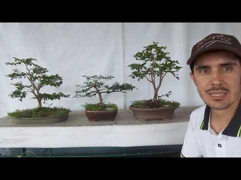 Cómo engrosar el tronco de un bonsai 2019