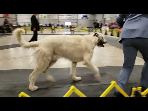 Scarborough Dog Show Sunday March 10/2019 Irish Wolfhounds
