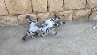 Gambar cover Mardin oyun güvercinleri 50 yıllık damar