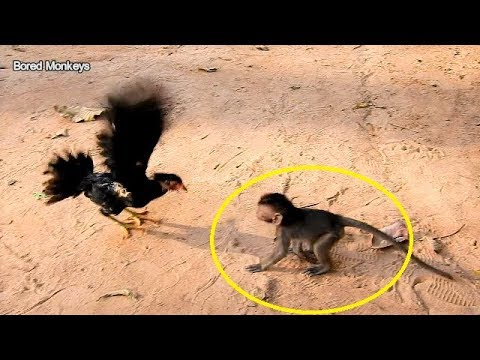 OMG!Cute baby Timo big Surprise request play wit chicken first time,Chicken show power kick Timo go