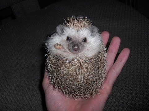 Hedgehogs - DON'T purchase before watching THIS!