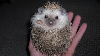 Hedgehogs - DON