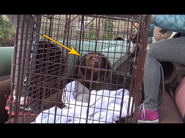 Scared homeless Pit Bull hides in a tiny pipe for many weeks until Hope For Paws was called