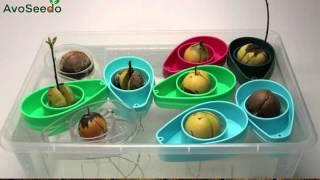 Avocado grow time lapse | AvoSeedo - Grow your own Avocado Tree!