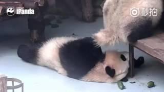 Panda poops