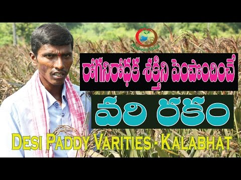 Natural Farming | Desi Paddy Varities | Kalabhat-రోగ నిరోధక శక్తిని పెంచే వరి రకం