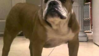Angry Bulldog Barking
