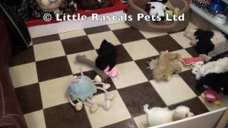 Little Rascals Uk Breeders New Litter Of Shihpoo's