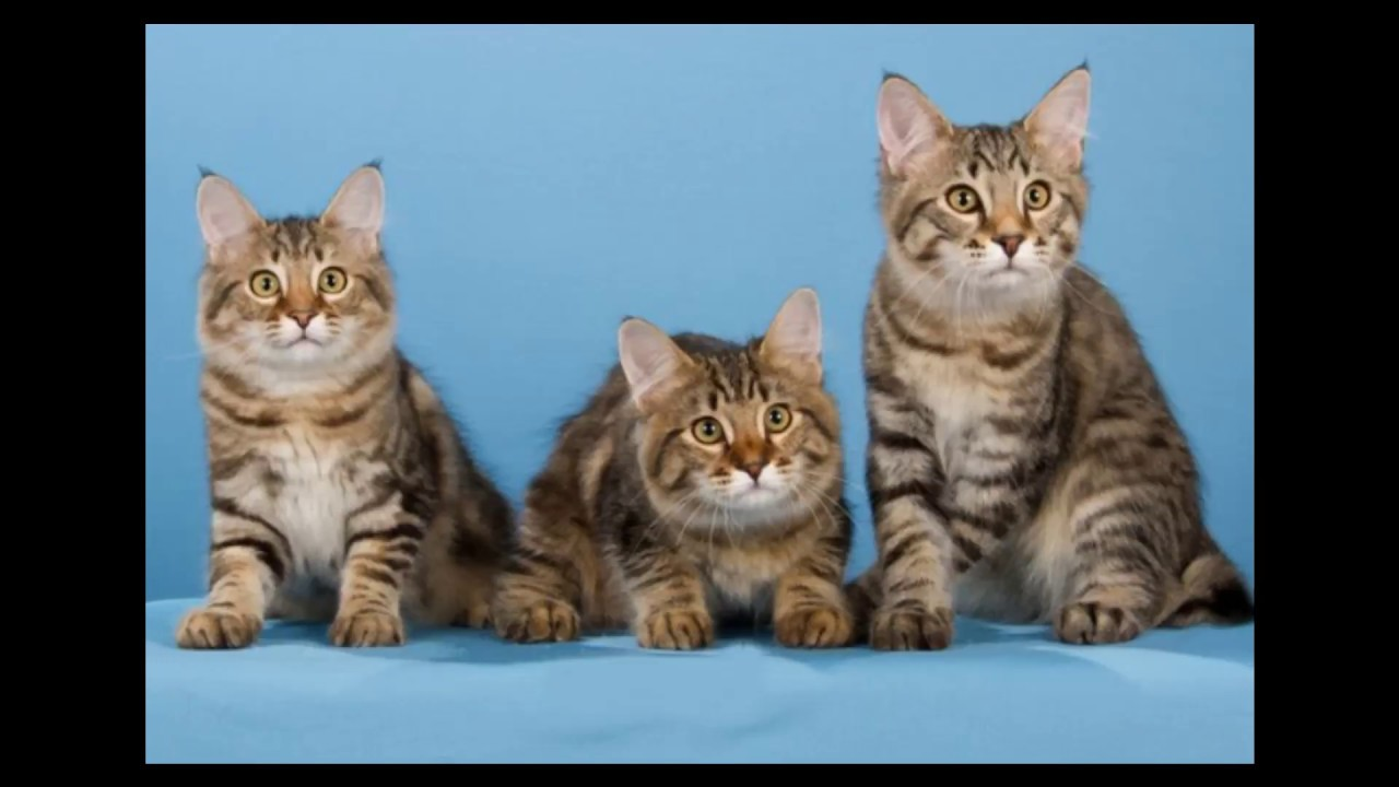 American Bobtail Cat and Kittens