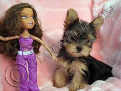 Tiny Micro Teacup Yorkshire Terrier Puppies For Sale In Los Angeles