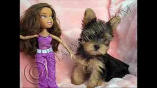 Tiny Micro Teacup Yorkshire Terrier Puppies For Sale In Los Angeles California