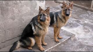Щенки Немецкой овчарки 6 мес. Puppies German Shepherd 6 months. Одесса.