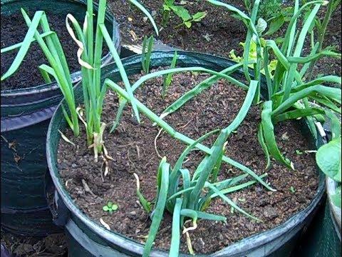 Green onion from old sprouting onion.Hogyan nevelj zöldhagymát csírázó hagymából.