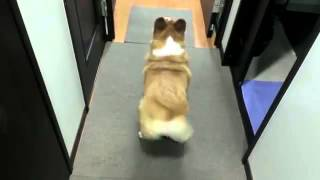 Corgi Twerking- Funny Videos