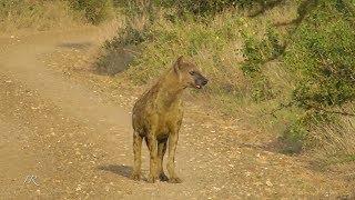 Hyena feeding and bumbling around