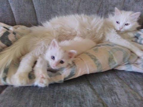 Van Kedisi Anne şefkatı  (The Turkish Van Cat affection)
