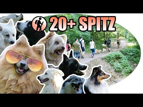 Hiking with 20+ SPITZ DOGS