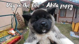 Life with an American Akita puppy! Our daily routine with a 10 weeks old Akita