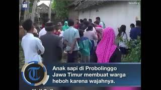 Download Video Viral, vidio ,Anak Sapi Berwajah Kucing Hebohkan Probolinggo MP3 3GP MP4